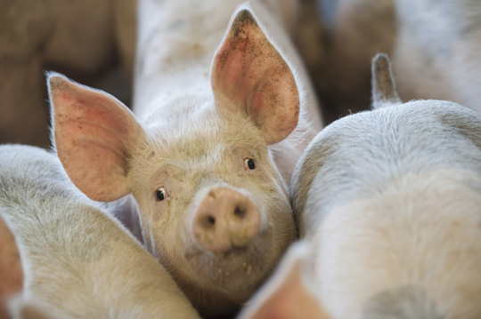 NPA to Brexit minister: pork industry is 'vital' to Britain's trade