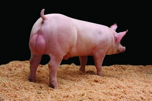 JSR GC800m pig