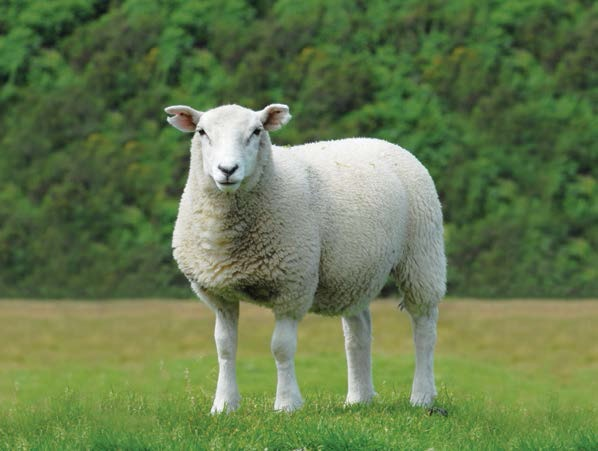 Butchers urged to be wary of contaminated meat following sheep thefts