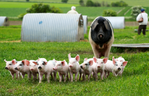 Helen Browning's organic pig farm