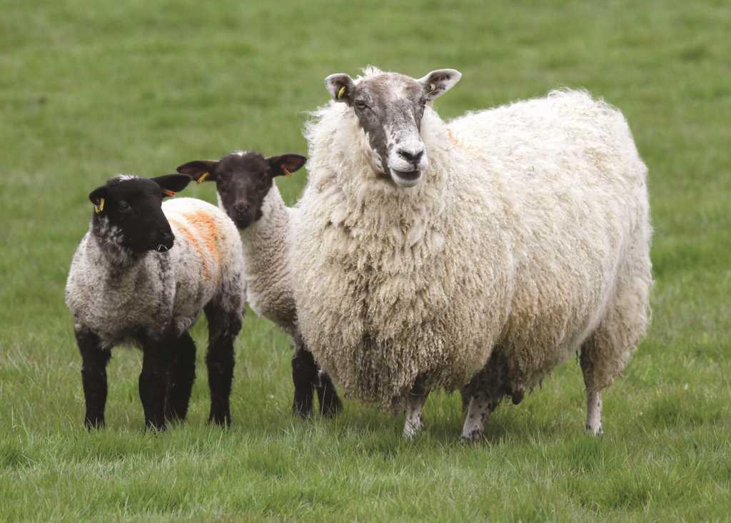 Scotch Lamb.