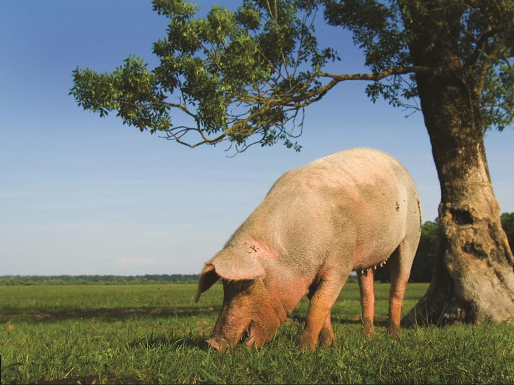 Generic pig.