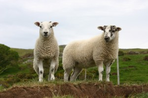 AHDB predicts that exports will play a vital role for sheep meat sector