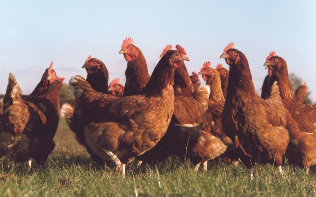 group chickens m