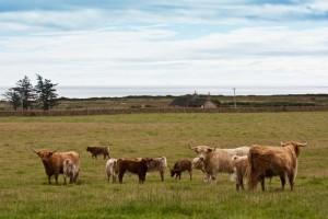 Group of Angus calfs