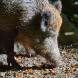 NPA calls for wild boar controls to protect pig industry