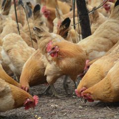 Brazilians to work with new scientific committee in drive to exceed European consumer expectations on its poultry products