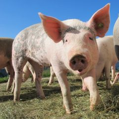 NPA sets out post-Brexit future for the British pig sector