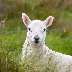 Political and economic factors combine to boost lamb prices