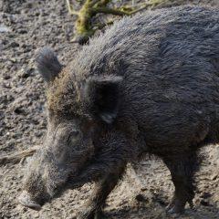 Global pork markets 'on edge' as African Swine Fever spreads