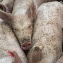 Tyson Foods boss warns arrival of African swine fever a real threat