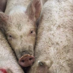 Additional butchers visas confirmed by government to assist pigmeat sector