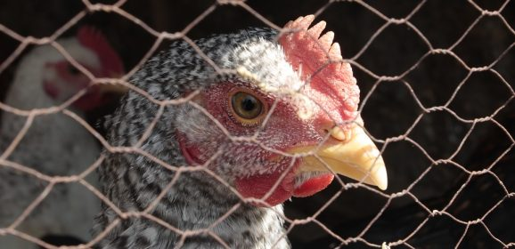 Covert investigation by Animal Equality UK alleges poor conditions at Moy Park farms