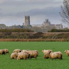 Waitrose  moves towards 100% British lamb