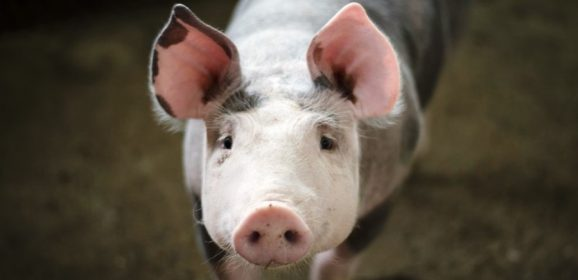 Danish research project looks at whether protein impacts pig meat quality