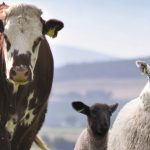 QMS Cattle and Sheep Standards 2020
