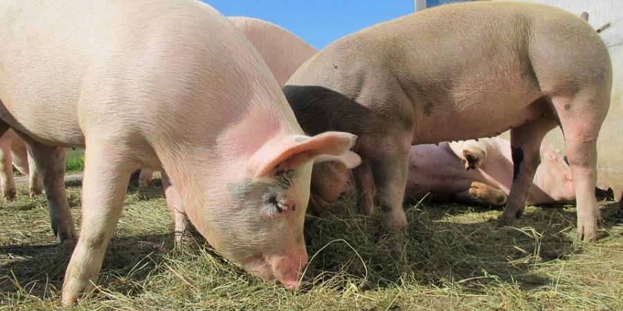 Pigs feeding at a farm