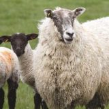 Industry reacts to proposed US lifting of UK lamb imports ban