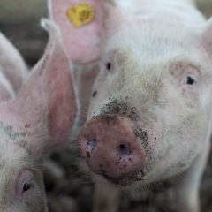UK pork production hits 20 year high in July