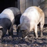 NPA seeks government action to avert pig sector labour crisis