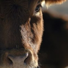 New DNA pilot project for beef supply chain launched