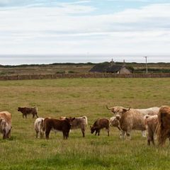Farmgate prices remain firm despite tightening of UK beef supply