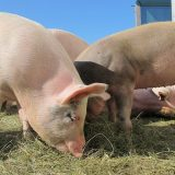 Antibiotic use in pigs fell by 5% in 2020