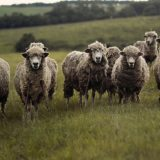 NSA says British sheep farming must not become 'sacrificial lamb'