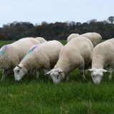 Recent analysis suggests grass-fed Welsh lamb is packed with protein