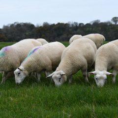 Lamb kill down again year-on-year