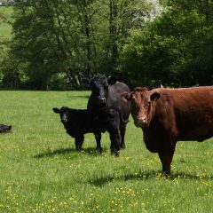 New report sheds light on future of beef farming