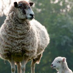 US to lift ban on British lamb imports